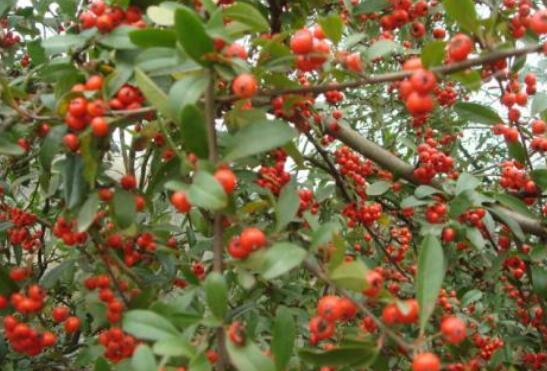 沙棘红果有什么功效和作用