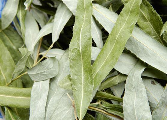 柳叶茶如何做 柳叶茶的最佳制作方法
