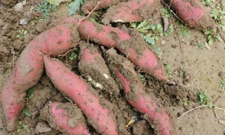 红薯什么时候种植最好是