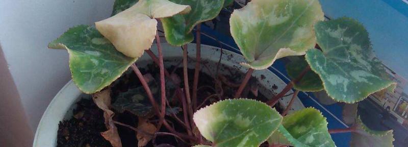 秋石斛兰的养殖方法和注意些什么