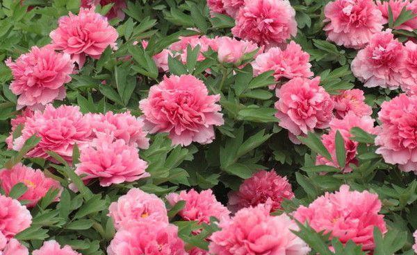 牡丹花在热天会不会发芽