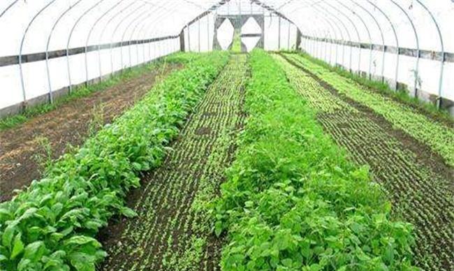 冬天大棚蔬菜冲肥注意些什么
