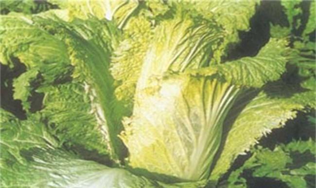 大白菜怎么样避免低温冻害