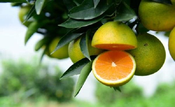 九月红橙子特点有哪些 种植条件是什么
