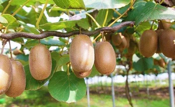 长生果是什么水果 种植及结果时间