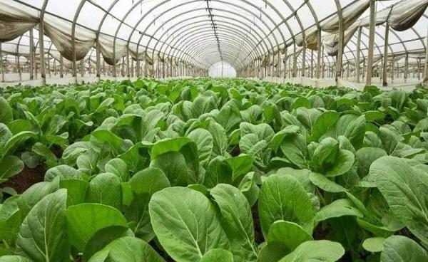 大棚蔬菜种植技术 大棚蔬菜和普通蔬菜的不同之处