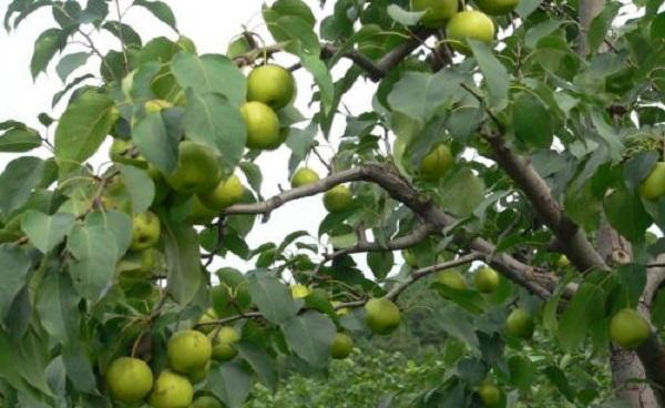 普通老果树梨木的价值 梨木的材质特点