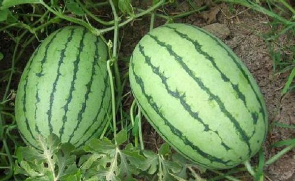 西瓜种子可以直接种地里吗 从出苗到结果要多长时间