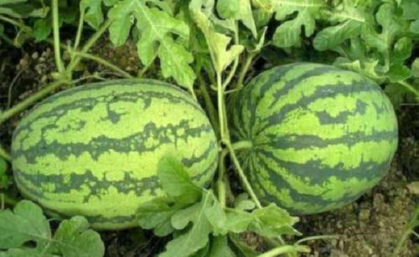 西瓜种子可以直接种地里吗 结果期怎么养护