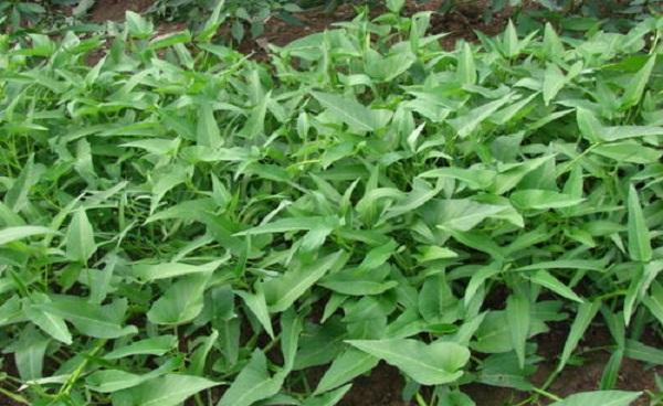 生长周期短的蔬菜种类有哪些