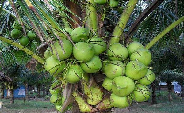 椰子的功效与作用禁忌 椰子的食用方法