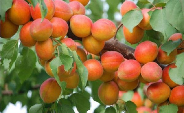 山杏和杏树的不同之处是什么