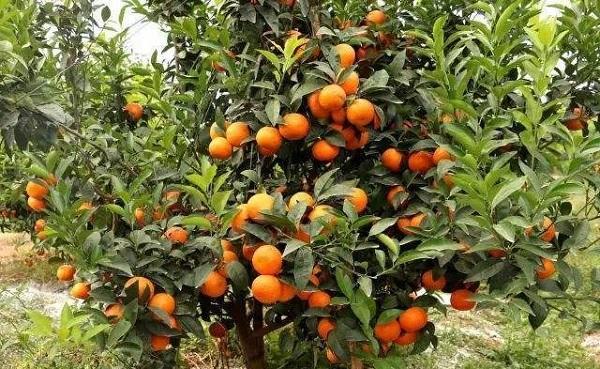 茂谷柑和沃柑哪一个好吃 在什么位置种植