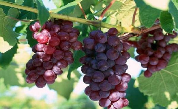 葡萄结果怎么修剪 结果后怎么施肥