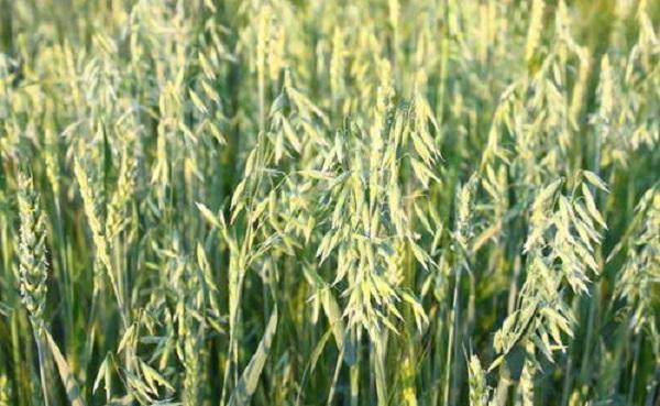 燕麦是什么植物 燕麦和小麦的不同之处