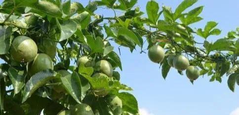 用不绣钢桶可以种植百香果吗?