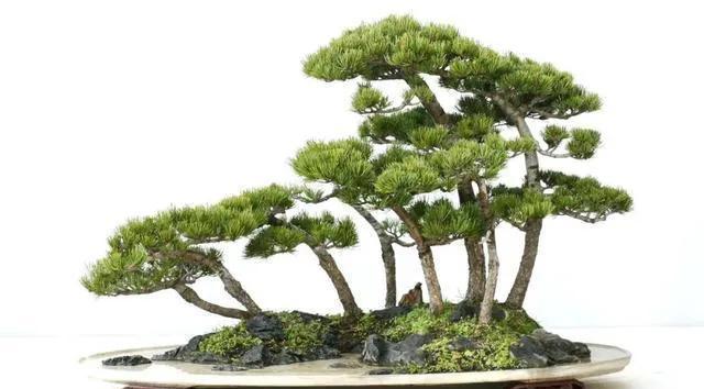 吸水石盆景如何种植植物?