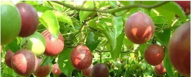 种植的百香果不开花结果是什么原因呢?