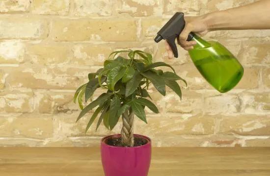发财树多久浇水一次?