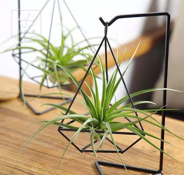 空气凤梨,品种繁多,形态各异,室内栽培要如何管理呢?