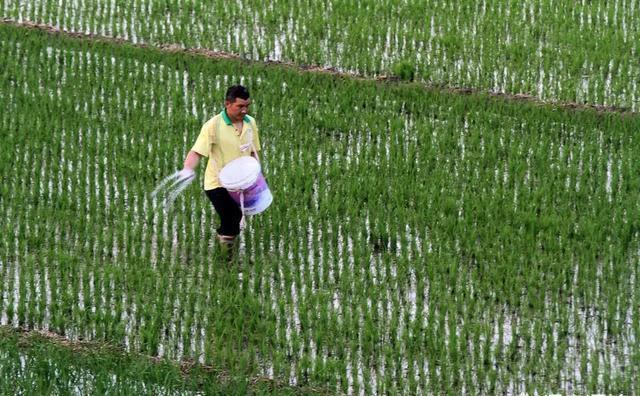 刚刚施用肥料后就下雨放水,肥料一定会流失掉吗?