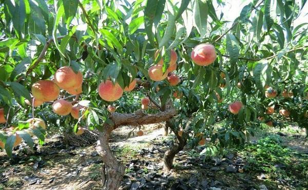 桃树的外形特点是什么 怎么样养护长得更好