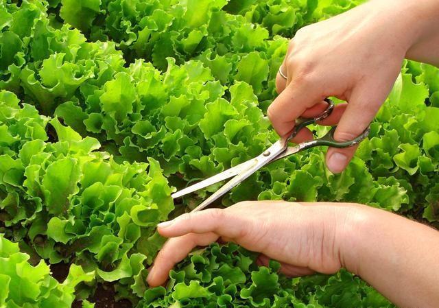 二伏天农村能种哪些青菜?