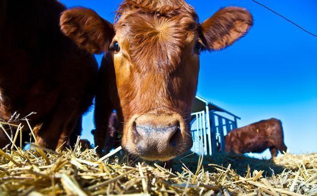 农村养牛和养羊,各投入10万元,哪个更轻松效益更好呢?