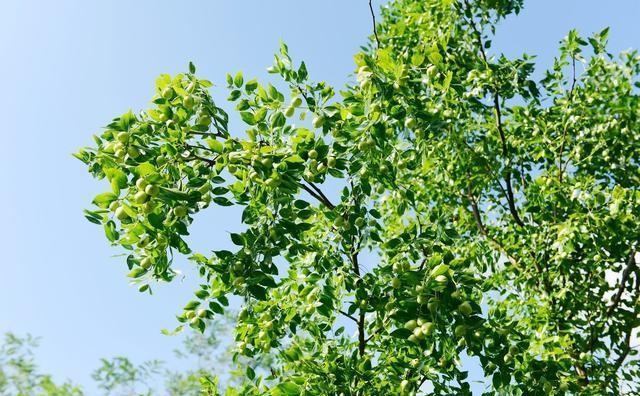 种了几年的枣子树为什么只开花不结果实?