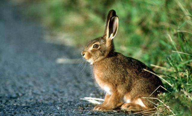 农村的野兔受保护以后会不会多的无法控制?