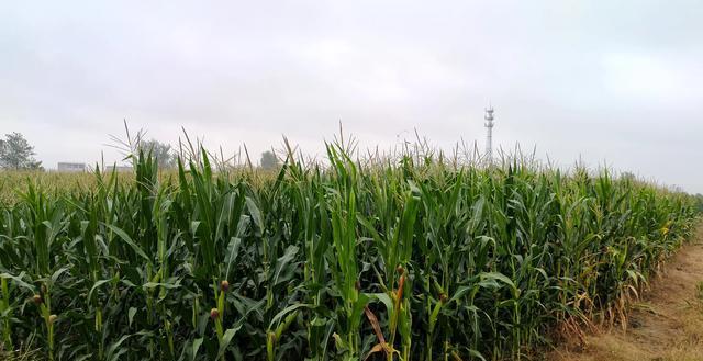 今年雨水集中且偏多今年秋收玉米会涨价吗?农民伯伯很累很无奈?