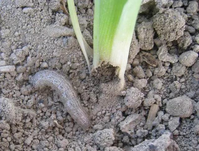地里土蚕太多,种的菜总是被吃,要怎么办?