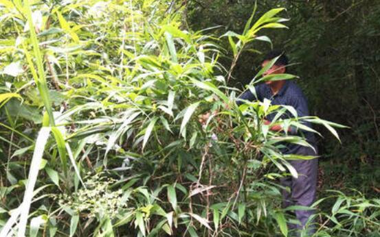 竹花泡酒的功效与作用及禁忌